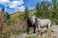 Deux chevaux sauvages dans les montagnes de Monténégro image libre de droits