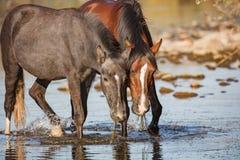 Deux chevaux sauvages mangeant l'herbe d'anguille Photos libres de droits
