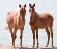 Deux chevaux sur la nature Image stock