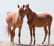 Deux chevaux sur la nature Photos libres de droits