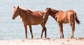 Deux chevaux sur la nature Photo libre de droits