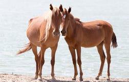 Deux chevaux sur la nature Photos stock