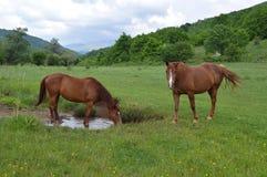 Deux chevaux sur le pré vert Photos libres de droits