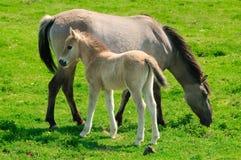 Deux chevaux sur un pré, jument et son poulain Photographie stock