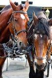 Deux chevaux très fatigués armés au harnais se tiennent devant le chariot images stock