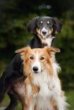 Étreinte mignonne de border collie du chien deux image stock