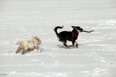 Deux chienchiens Photos stock