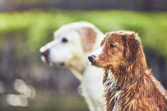 Deux chiens amicaux en nature d'été Image stock