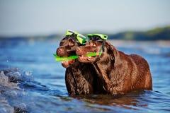 Deux chiens avec l'équipement naviguant au schnorchel Photo stock