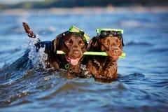 Deux chiens avec l'équipement naviguant au schnorchel Photos stock