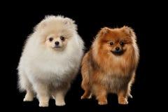 Deux chiens blancs et rouges mignons pelucheux de Spitz de Pomeranian d'isolement Photographie stock libre de droits