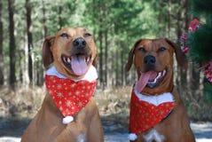 Deux chiens bruns de Noël Image stock