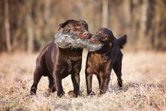 Deux chiens bruns fonctionnant dehors photos libres de droits