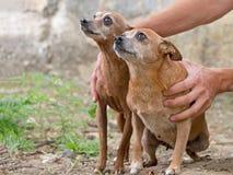 Deux chiens bruns très petits Une graisse, une mince Très mignon Photos libres de droits