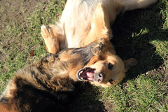 Deux chiens combattent Photos libres de droits