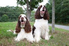 Deux chiens d'épagneul Image stock