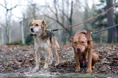Deux chiens d'ami en parc Photo libre de droits