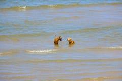 Deux chiens d'amis jouent en mer Image stock