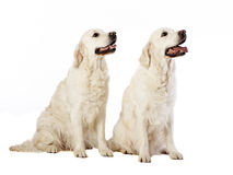 Deux chiens d'arrêt d'or Image libre de droits