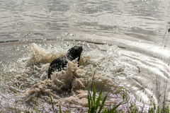 Deux chiens d'arrêt de Labrador sautent dans un lac Photo libre de droits
