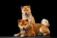 Deux chiens d'inu de Shiba, fond noir d'isolement Photos stock