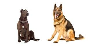 Deux chiens d'isolement photographie stock libre de droits