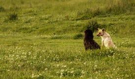Deux chiens dans un domaine vert Photographie stock libre de droits