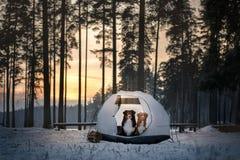 Deux chiens dans une tente Hausse dans la forêt d'hiver Photo stock