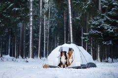 Deux chiens dans une tente Hausse dans la forêt d'hiver Image stock