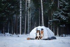 Deux chiens dans une tente Hausse dans la forêt d'hiver Photographie stock