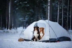 Deux chiens dans une tente Hausse dans la forêt d'hiver Image libre de droits