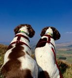 Deux chiens de attente se reposants Photos stock