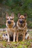 Deux chiens de berger Image libre de droits