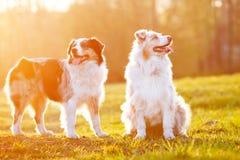 Deux chiens de berger australiens dans la lumière de coucher du soleil Images stock