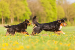 Deux chiens de berger australiens fonctionnant sur le pré Photos stock