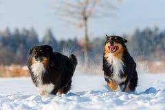 Deux chiens de berger australiens fonctionnent dans la neige Photos libres de droits