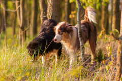 Deux chiens de berger australiens se tenant dans la forêt Photo libre de droits