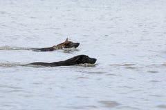 Deux chiens de berger de natation de l'Allemagne Images libres de droits