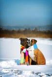 Deux chiens de boxeur de race se reposant pendant l'hiver sur la neige, associé Image libre de droits