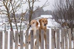 Deux chiens de chasse se tenant à la barrière Images stock