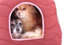 Deux chiens de chiwawa se reposent Photo stock
