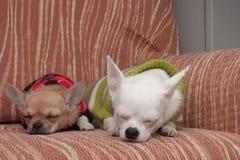 Deux chiens de chiwawa se sont habillés avec des pulls se reposant sur le sofa Image stock