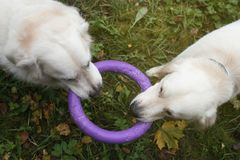 Deux chiens de golden retriever jouant avec un jouet ensemble en automne Photographie stock