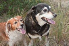 Deux chiens de moutons de ferme sur une dune de sable herbeuse Photographie stock