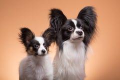 Deux chiens de papillon sur le fond rose Image stock