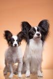 Deux chiens de papillon sur le fond rose Photographie stock libre de droits