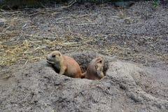 Deux chiens de prairie en trou Image stock