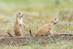 Deux chiens de prairie sur l'alerte images stock