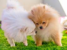 Deux chiens de Pumeranian jouant à la maison image libre de droits