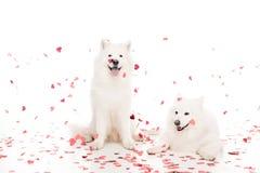 deux chiens de samoyed sous les confettis en forme de coeur en baisse sur le blanc, concept de jour de valentines Photographie stock